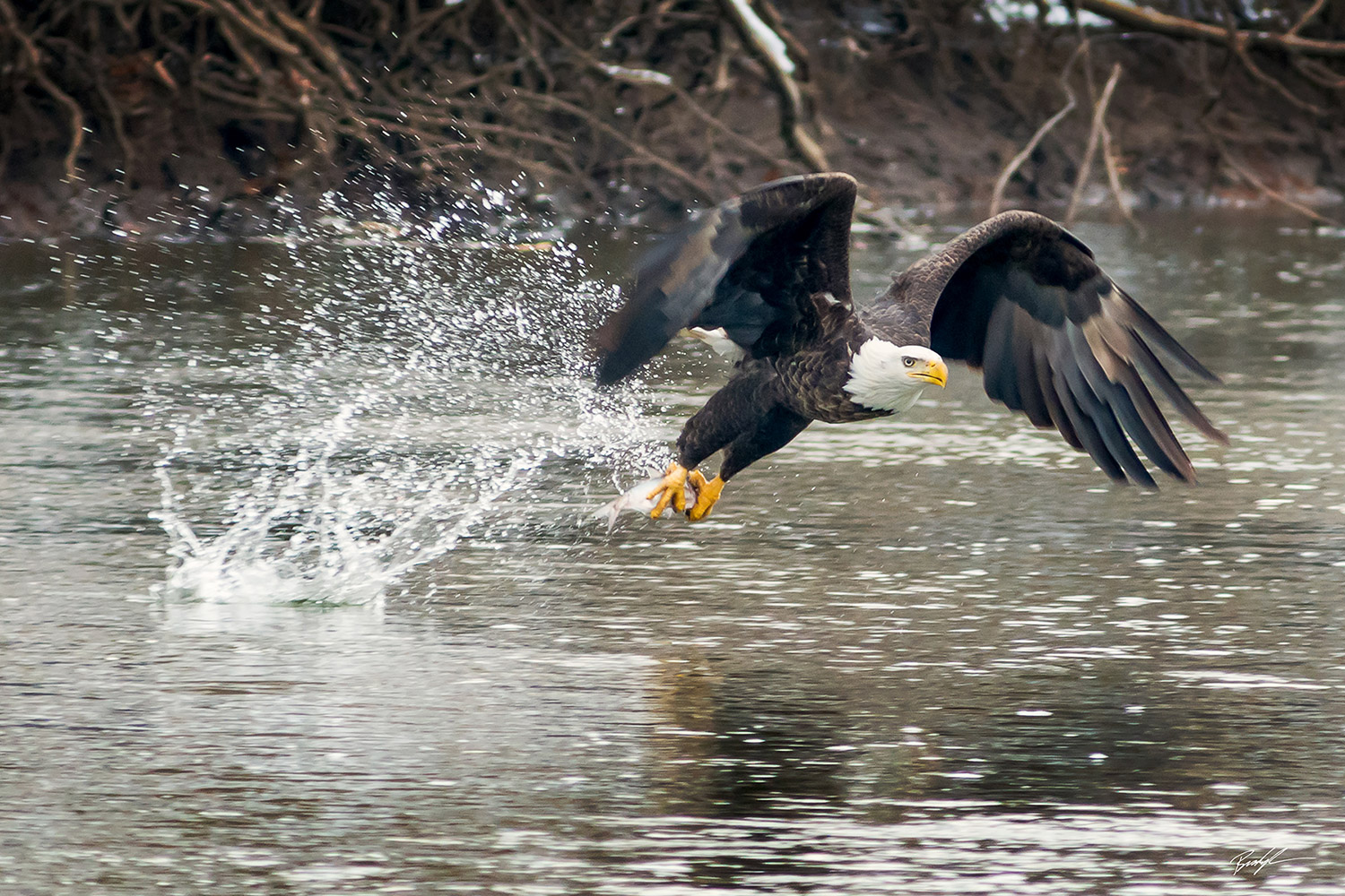 Bald Eagle Catching a Fish Carlyle Illinois