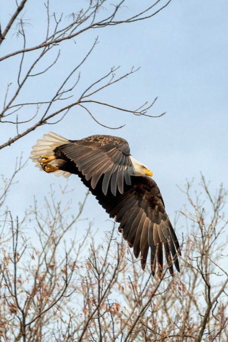 #E003 - Bald Eagle in Flight