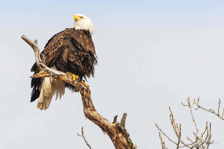 Bald Eagle Perched Great River Road Illinois