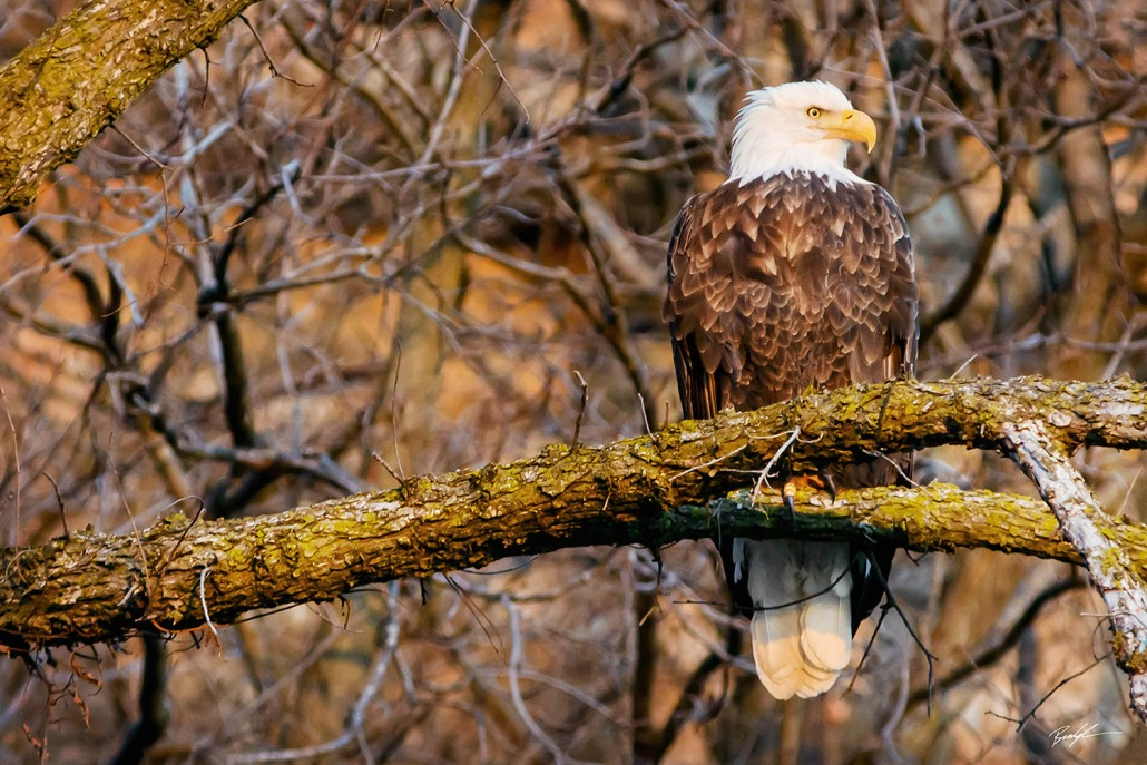 Bald Eagle Perched at Sunset