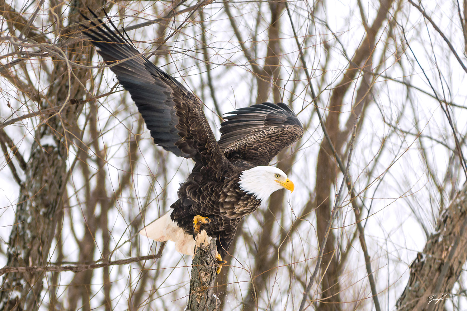 Bald Eagle Prepares to Fly