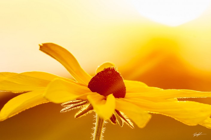 Black Eyed Susan in the Sun