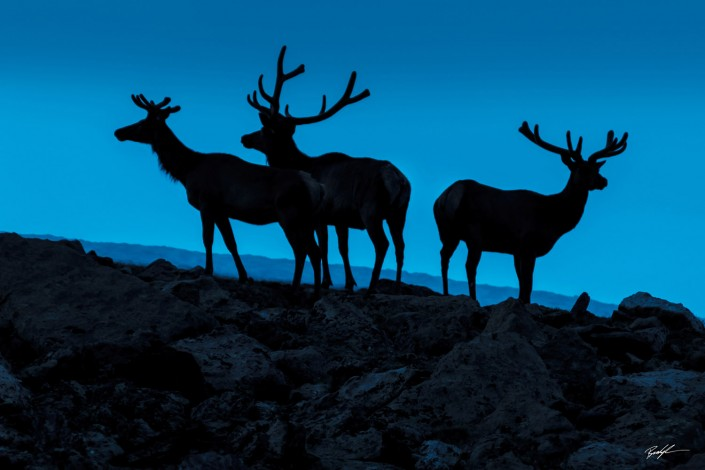 Elk Silhouette Rocky Mountain National Park Colorado