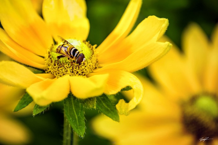 Insect and Yellow Daisy Pair