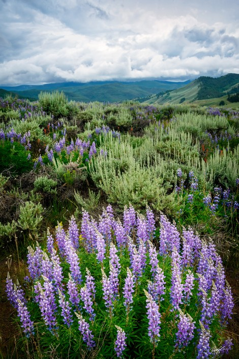 Lupine and Sagebrush Field San Juan Mountains Colorado
