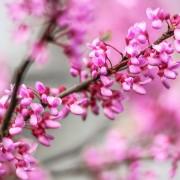 Redbud Blossoms Spring
