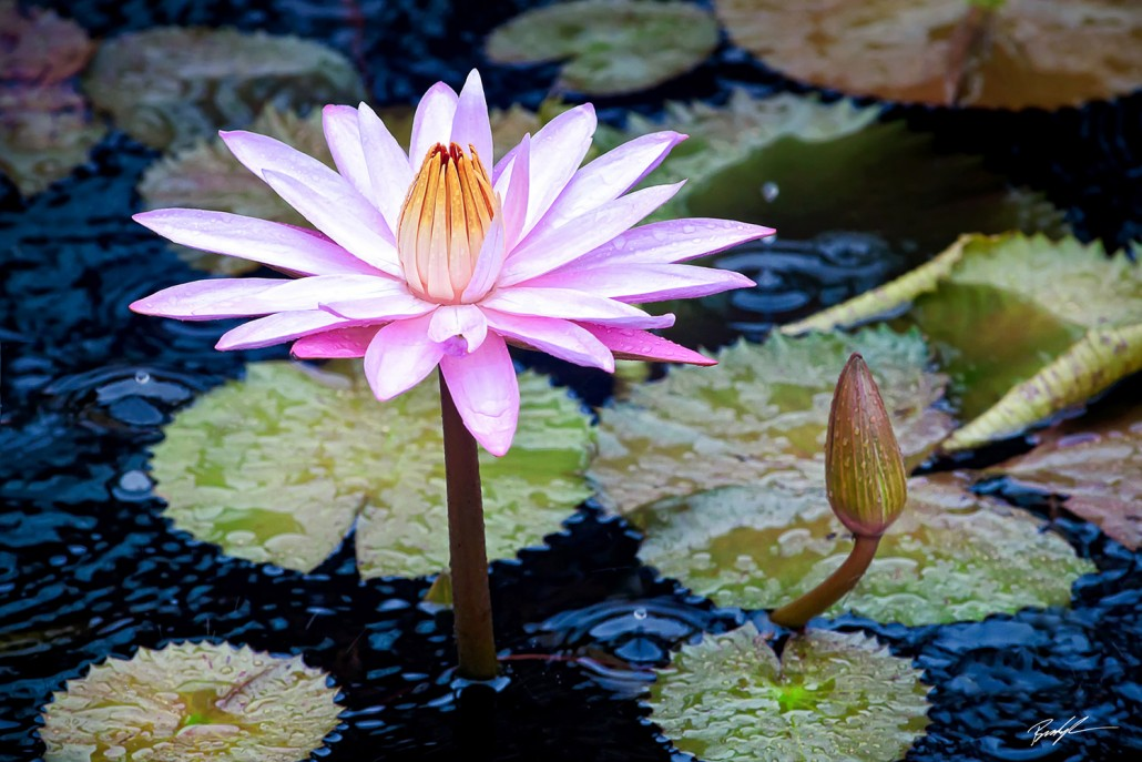 #F005 - Waterlily and Raindrops