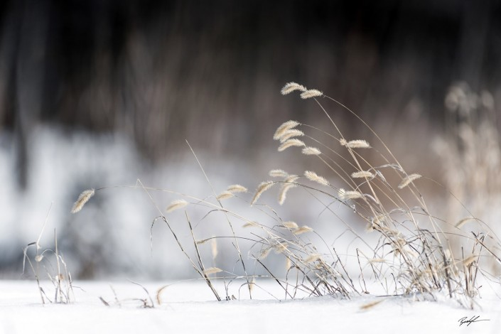 Winter Grasses Southern Illinois