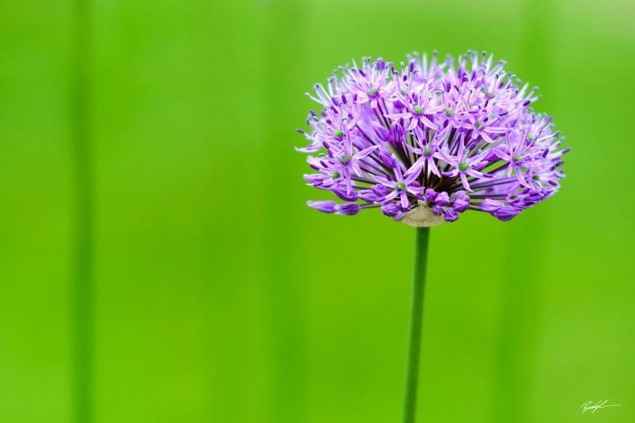 Allum Purple Lila's Garden Highland IL