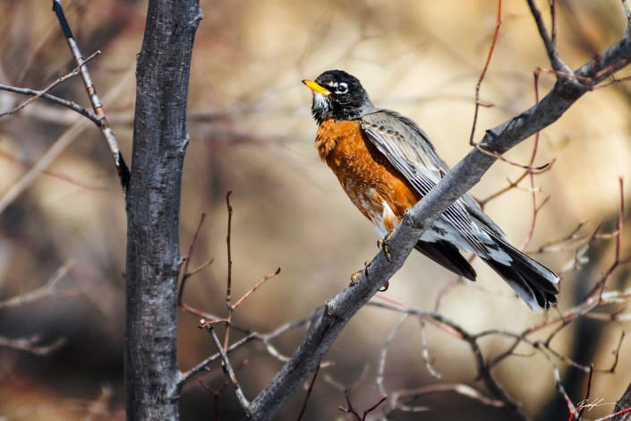 American Robin Southern Illinois