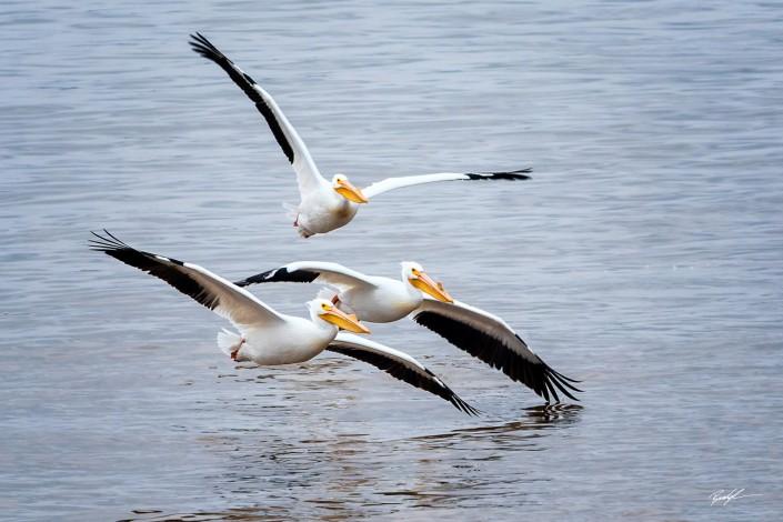 American White Pelican Trio Southern Illinois