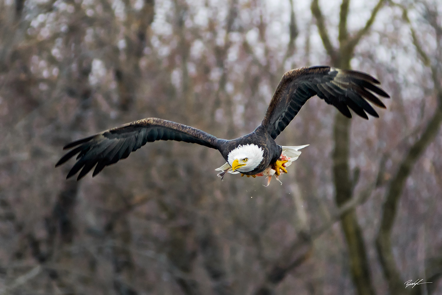 Bald Eagle in Flight with Fish Carlyle Illinois