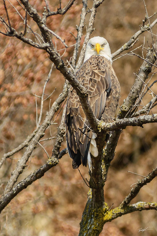 Bald Eagle Stare Great River Road Grafton Illinois