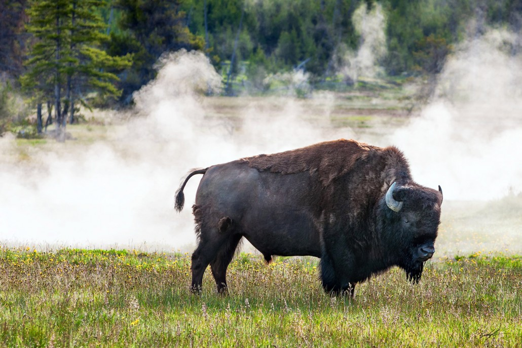 American Bison Yellowstone National Park Wyoming