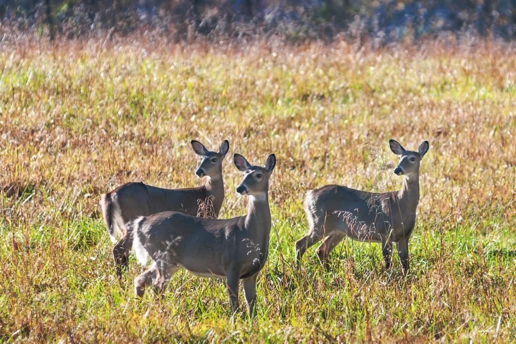 Deer Cades Cove Smoky Mountain National Park