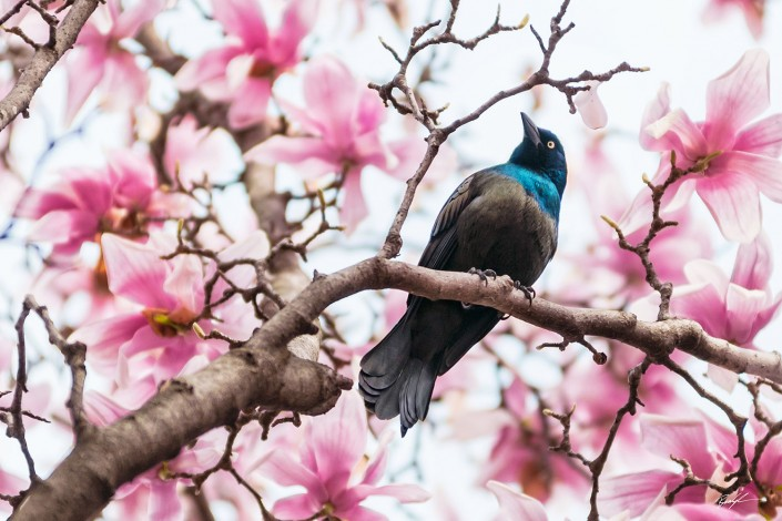 Grackle and Magnolia Tree Missouri