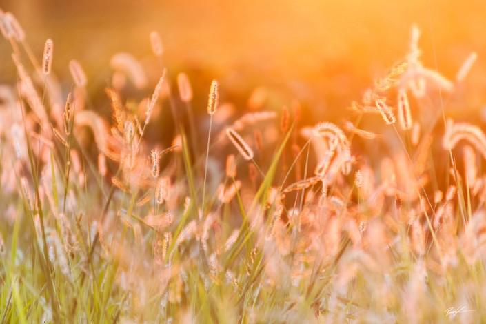 Sunlit Grass Southern Illinois