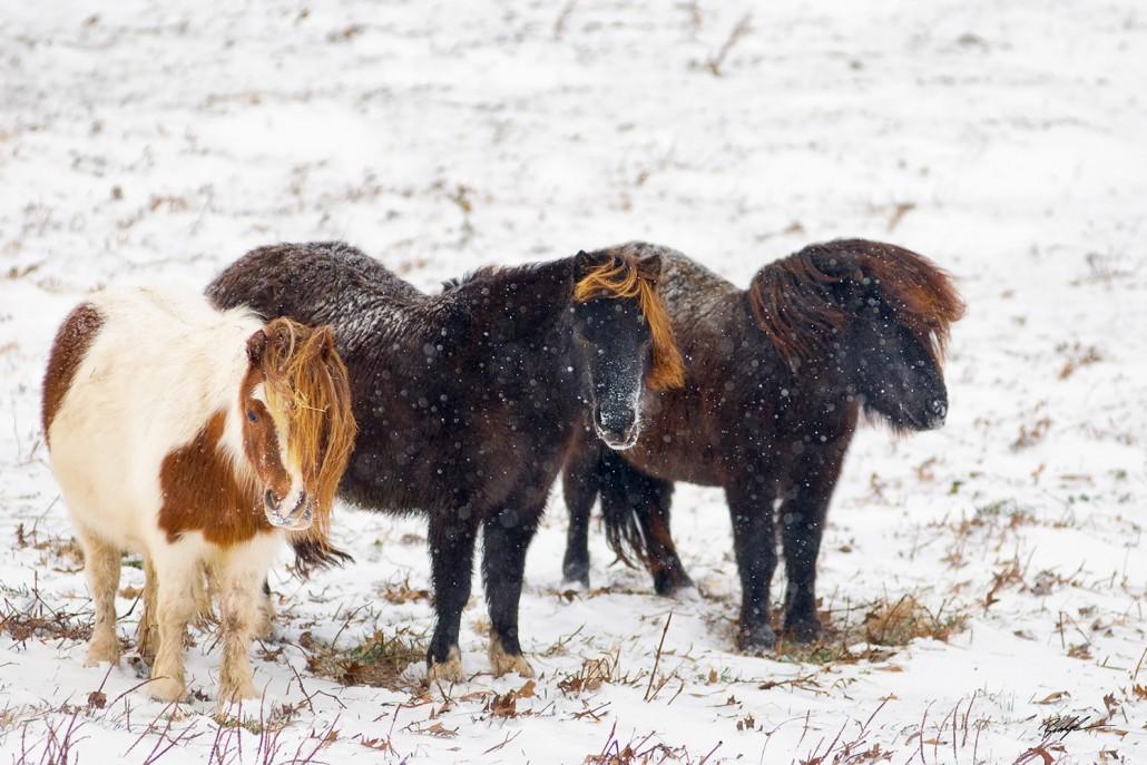 Mini Horses Snow Storm Southern Illinois