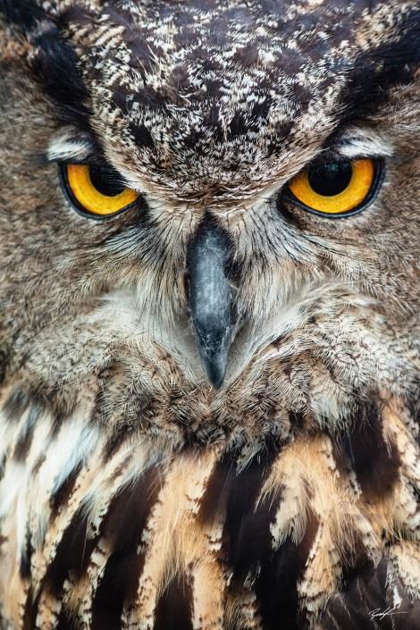 Owl Stare Missouri