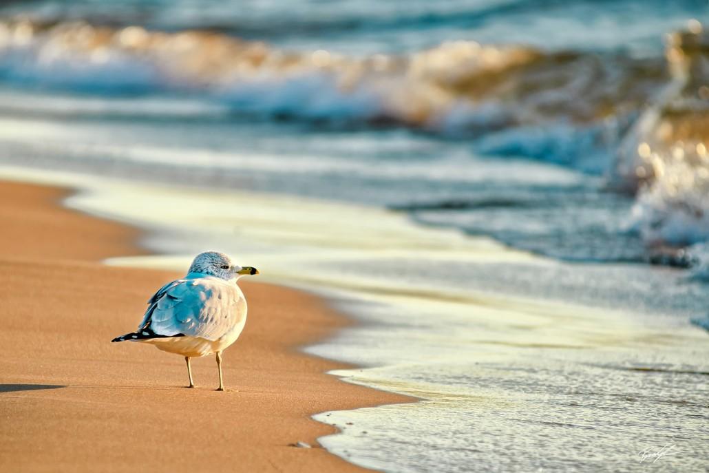Sea Gull Little Sable Point Lake Michigan