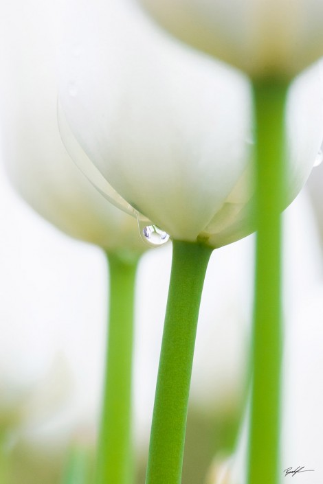 White Tulip and Raindrop