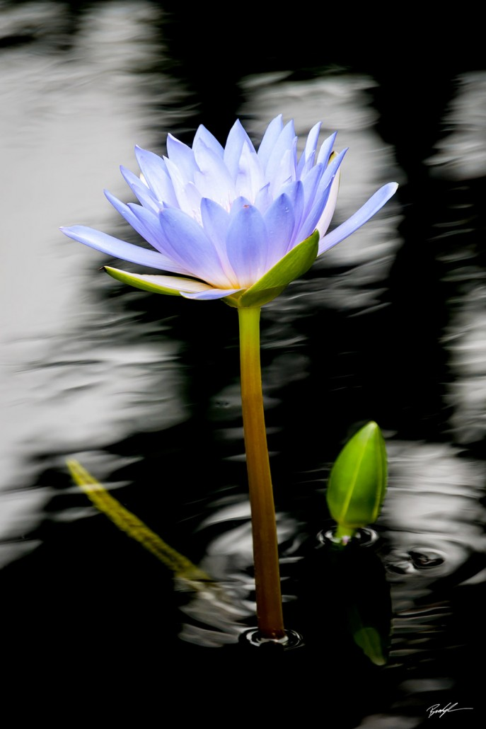 Water Lily and Black Water
