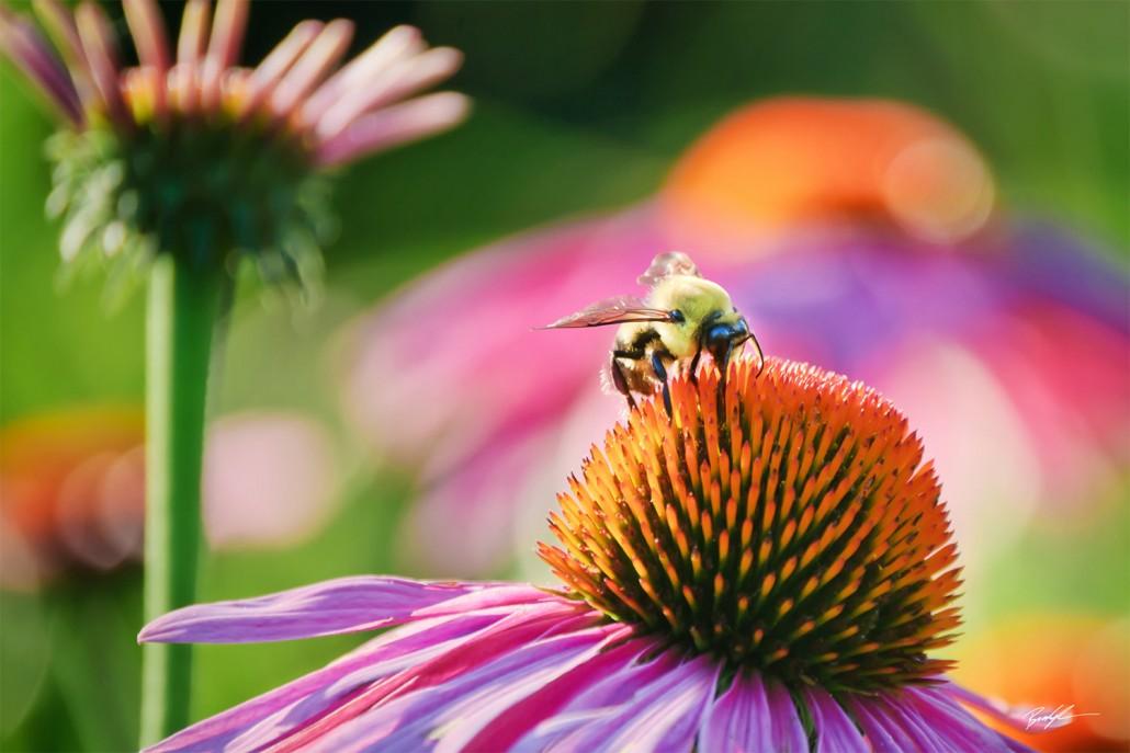 Coneflowers and Bee
