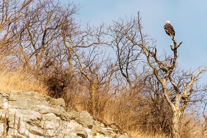 Bald Eagle on Great River Road Bluffs