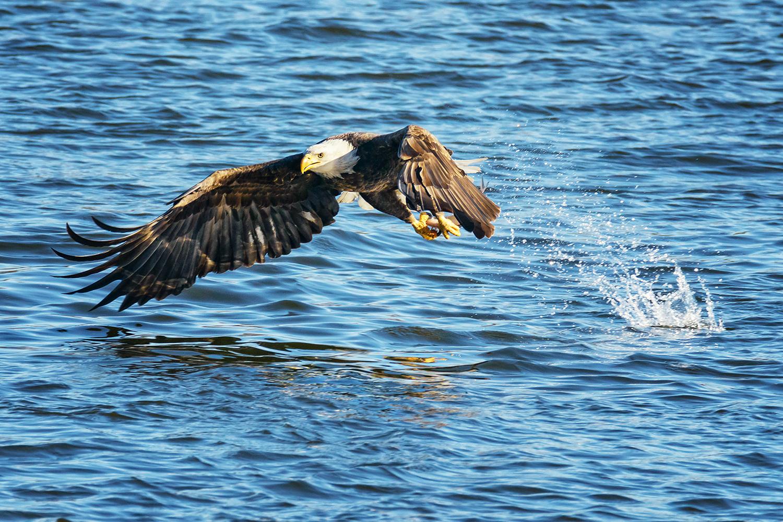 Bald Eagle Catching a Fish Clarksville Missouri