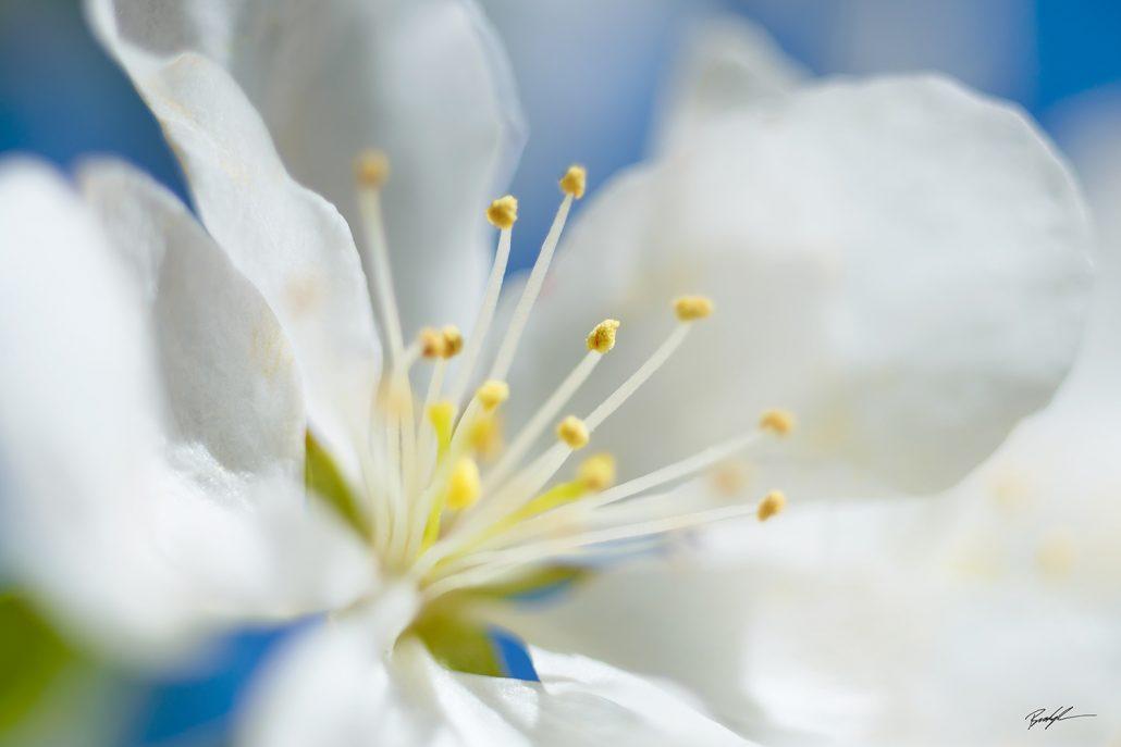 Crab Apple Blossom White