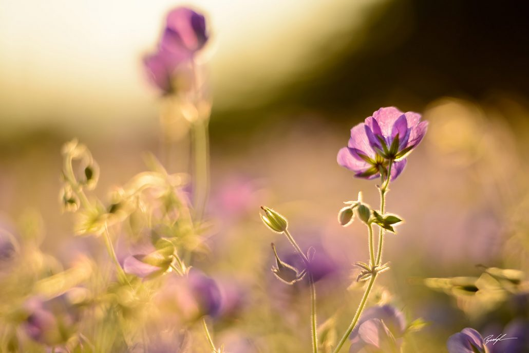Blue Hardy Geraniums in Sunlight