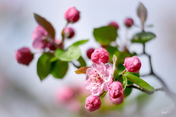 Pink Crab Apple Tree Blossoms