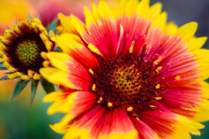 Gallardia Flower