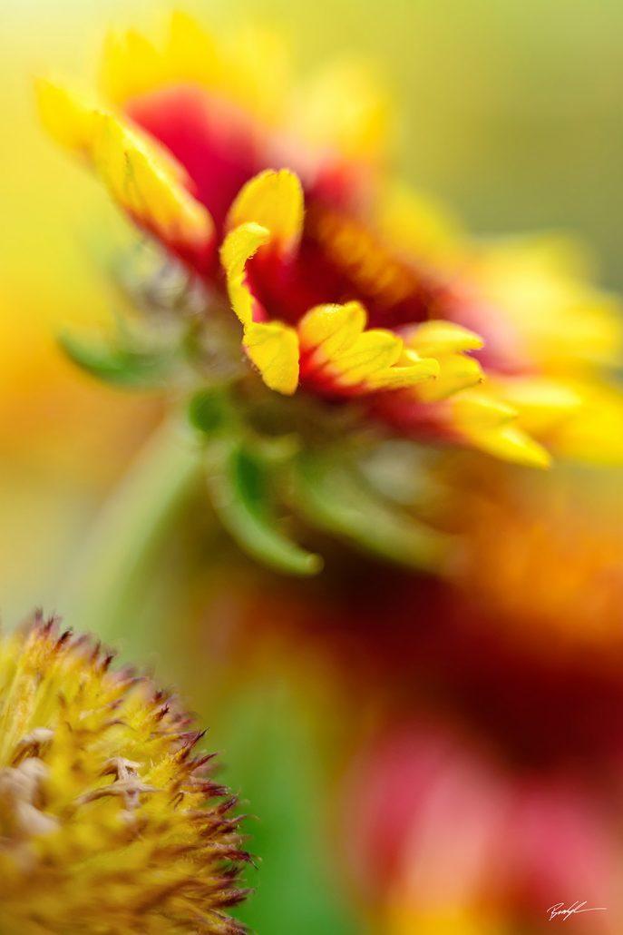 Unique flower photography brady kesner photography gallardia flower mightylinksfo