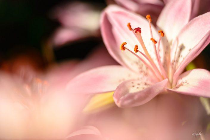 Mauve Lily