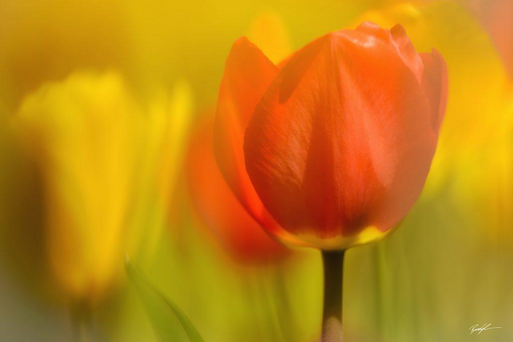 Orange and Yellow Tulips in Sunlight