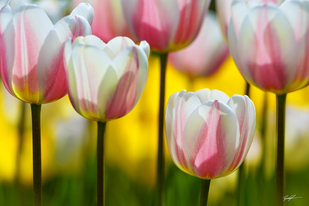 Tulips Pink White and Yellow