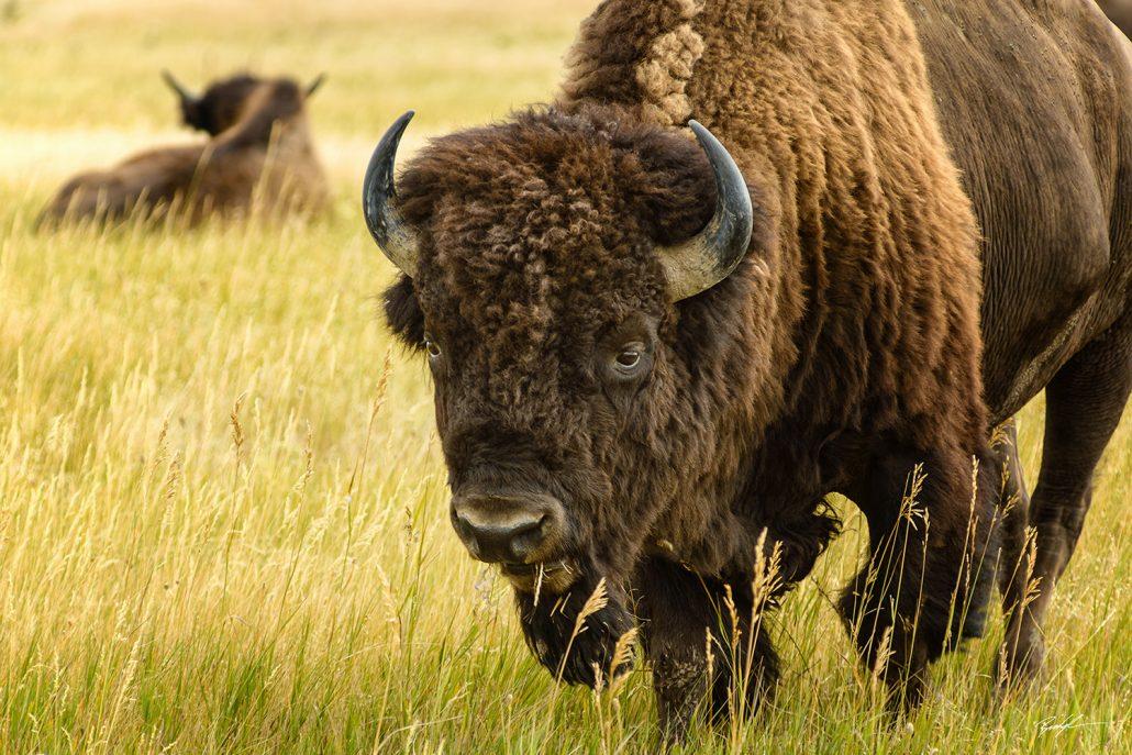 American Bison Badlands National Park South Dakota