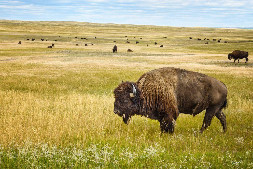 American Bison Family Badlands National Park South Dakota