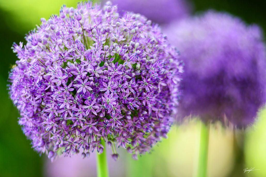 Allium Purple Wild Onion
