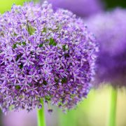 Allium Purple Wild Onion