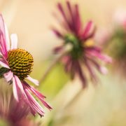 Tennessee Coneflower