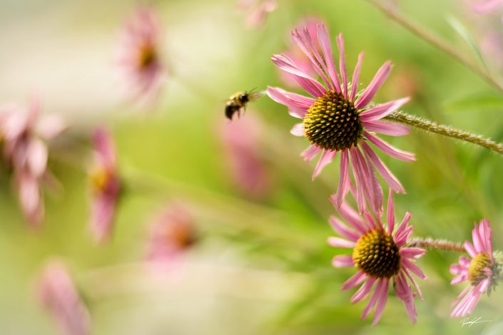 Tennessee Coneflower and Honey Bee