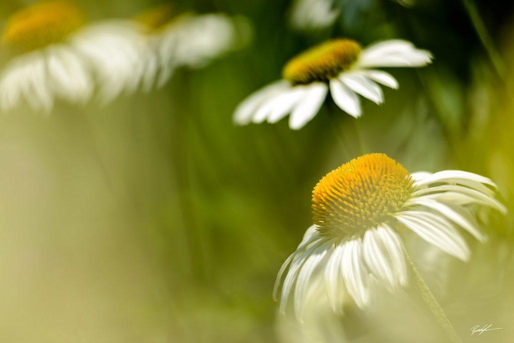 White Coneflowers and Sunshine