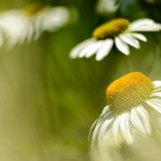 White Coneflowers and Sunshine