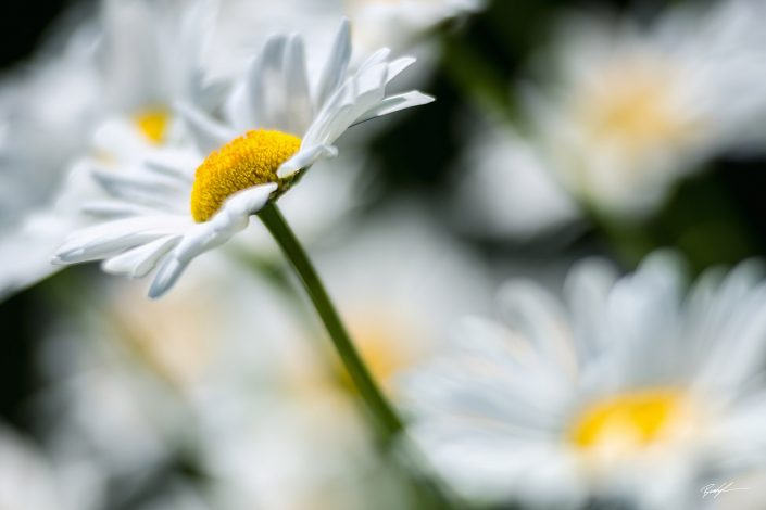 White Daisy Cluster