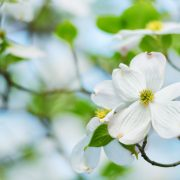 Dogwood Flower and Branches