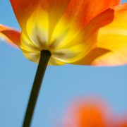 Yellow Orange Tulip and Blue Sky