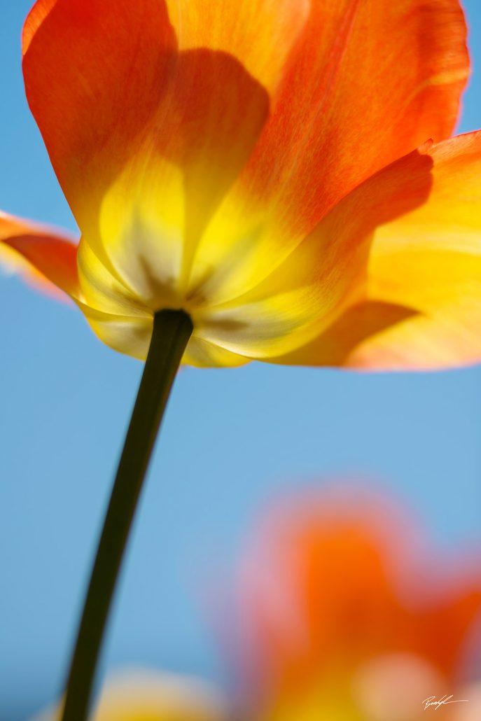 Unique flower photography brady kesner photography yellow orange tulip and blue sky mightylinksfo