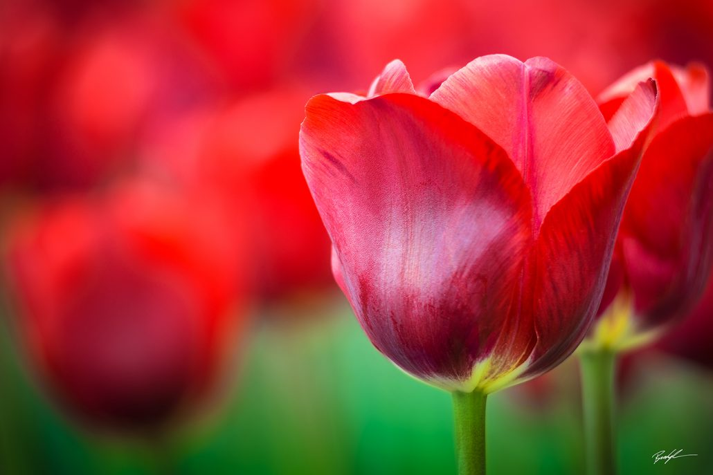 Red Tulip Patch